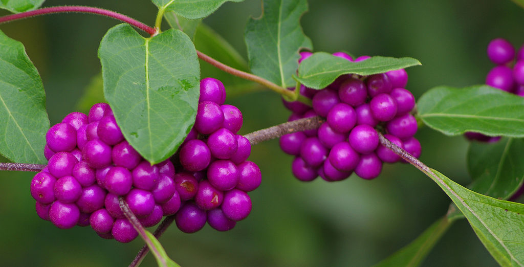 american beautyberry bush with ripe fruit