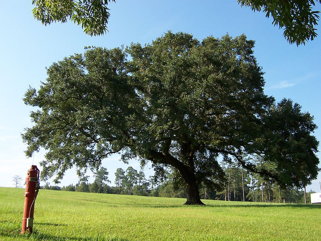 large live oak tree on grassy field