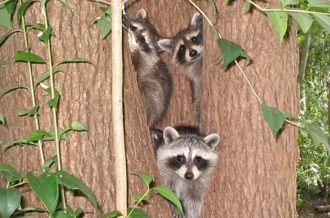 worst mls photos raccoons in a tree outside home